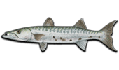 Nearshore Fishing Barracuda