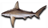 Nearshore Fishing Sandbar Shark