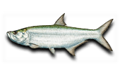Nearshore Fishing Tarpon